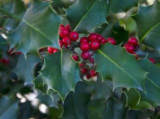 Leaves of mistletoe with red berries.