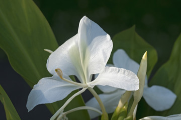 White ginger lily flowers