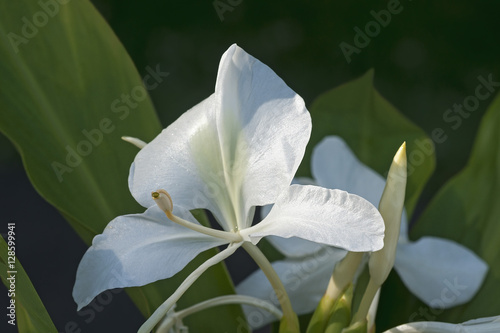 White Ginger Lily Flowers Stock Photo And Royalty Free Images On