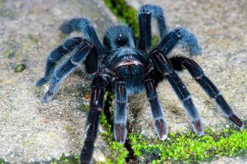 Selenocosmia javanensis tarantula spider on the ground