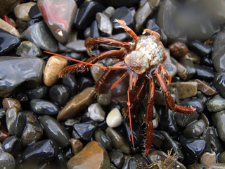 Hermit Crab (lat. Paguroidea) on the wet stones. Without shell. Closeup. Summer. Black Sea.