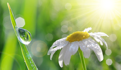 Dew drops on fresh green grass and daisy closeup. Nature Background.