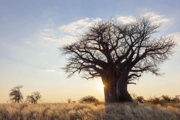 Printed roller blinds Baobab Sun starburst at baobab tree