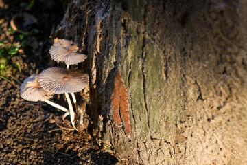 Mushrooms growing on old tree stump with sunshine.