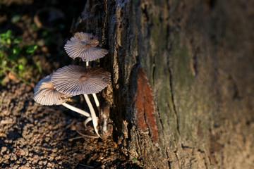 Mushrooms growing on old tree stump with sunshine