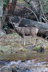 Mule deer buck standing by river