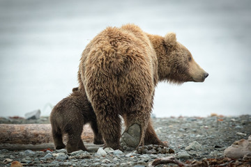 Grizzly Sow and Little Cub on beach feeding, walking & playing