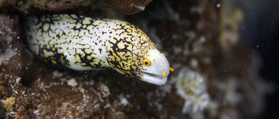 underwater wonders - beautiful spotted moray eel