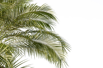 green leaf of palm,palm in garden or pak,palm is tall,palm make oxygen