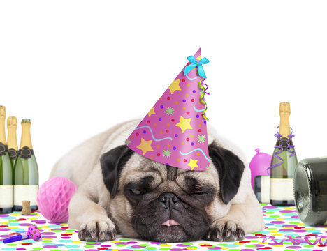 cute pug puppy dog wearing pink party hat, lying down on confetti, fed up and drunk on champagne, tired of partying, on white background