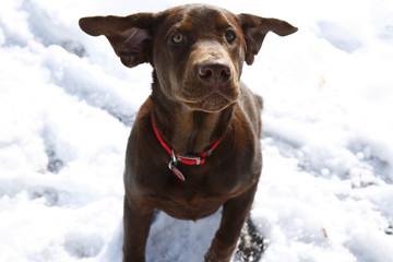6 month old Chocolate Labrador Retriever puppy.