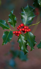 holly plant closeup