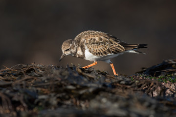 Ruddy Turnstone, Turnstone, Arenaria interpres