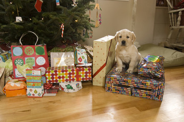 A puppy sits amongst Christmas presents, Lovell, Maine.