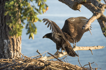 A juvenile bald eagle on its nest flexes its wings.