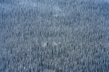 A mountainside of pine trees covered in fresh snow