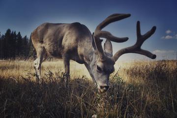 A free deer eating in Yosemite National Park