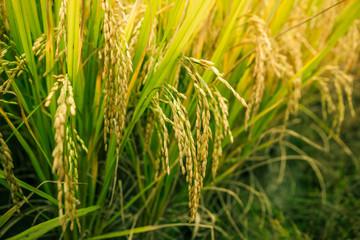 Rice field closeup.