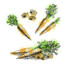 Watercolor Hand drawn set of carrot. Vector sketch