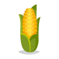 Corn cobs vector illustration. Healthy grain maize vegetable cob . Yellow agriculture farm ingredient .