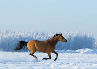 Wall Mural - Gold chestnut horse gallops across snowy field.