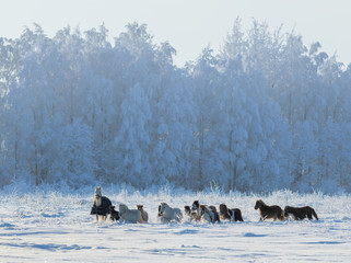 Wall Mural - Group of ponies and miniature horses on snowfield
