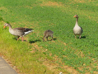 goose familiy