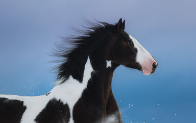 Wall Mural - Portrait of American Paint horse on dark blue background
