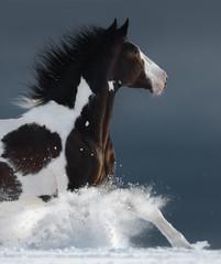 Fototapete - American Paint horse running gallop across a winter snowy field