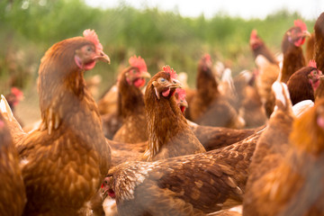portrait of chicken in a typical free range poultry organic farm