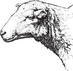 Vintage image sheep