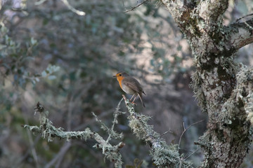 Erithacus rubecula singing on a tree