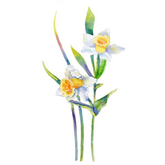 Narcissus flower watercolor illustration isolated on white background, hand drawn daffodil bouquet, Floral design elements for greeting card, wedding invitation, florist shop, package cosmetic