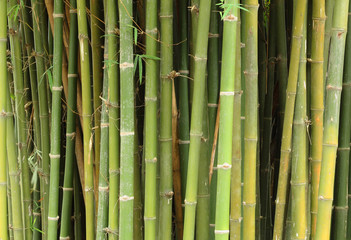 Green bamboo for texture and background