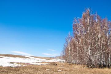Birch forest in early spring. Early spring forest