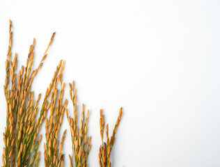 Rice paddy on white background.