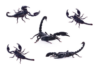 Giant Asian black scorpion