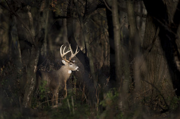 A large Whitetail Deer buck stands in a spotlight of sun in the woods early one morning. Wall mural