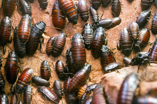 Colony of Madagascar hissing cockroaches