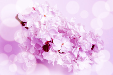 Floral wallpaper. Lilac flowers blossom poster, Soft blurred style with special colored effect