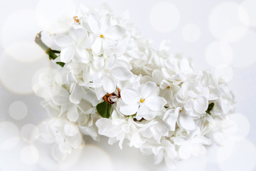 Floral wallpaper. White lilac flowers blossom poster, Soft blurred style with special effects