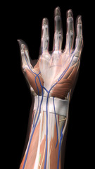 Female Hand Anatomy Ventral View Vertical Black Background
