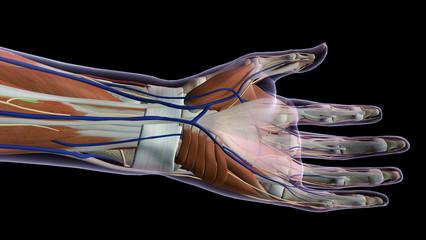 Female Hand Anatomy Ventral View Black Background