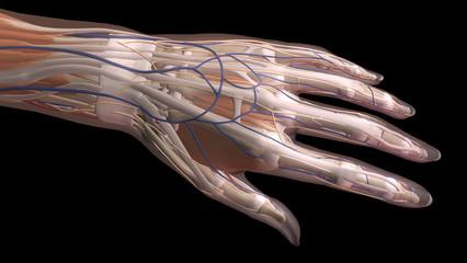 Female Hand Anatomy Dorsal View Black Background