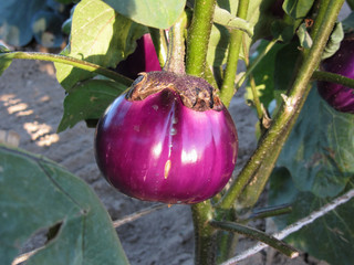 Purple round eggplant hanging on tree in the garden . Tuscany, Italy
