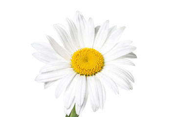 Floral wallpaper, white daisy
