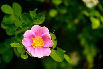 Simple Wild Rose