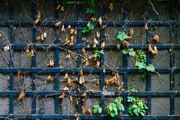 Branches of creeper with green leaves and dried on a metal fence