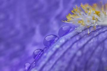 Gocce di rugiada sui petali di un fiore viola