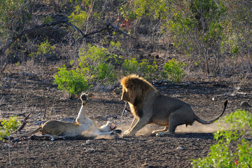 Mating lions fighting